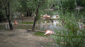 Flamingo bij de dierentuin in 4k mening stock footage