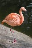 Flamingo bij een waterrand Royalty-vrije Stock Foto's