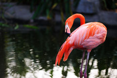 Flamingo bird Royalty Free Stock Image