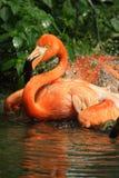 Flamingo bird. Beautiful orange flamingo bird bathing royalty free stock image