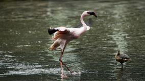 Flamingo and bird Royalty Free Stock Photography