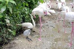 Flamingo bird baby Stock Images