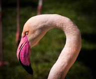 Flamingo, Bird, Beak, Fauna Royalty Free Stock Photography