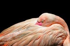 Flamingo bird with black background, flamingo bird. Flamingo bird, flamingo, pink, black background stock photos