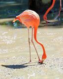 Flamingo Bird exotic Stock Photos