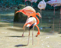 Flamingo Bird exotic Stock Image