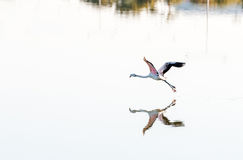 Flamingo bird flying above the water Stock Images