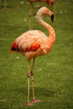 Flamingo bird Stock Photography