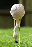 Flamingo Bird lowering face to the ground to eat grass. Royalty Free Stock Photography