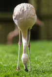 Flamingo Bird lowering face to the ground to eat grass. Royalty Free Stock Image