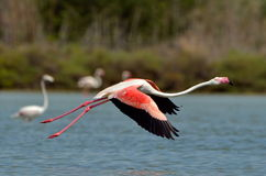 Flamingo bird in natural habitat Stock Image