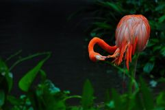 Flamingo bird in nature Royalty Free Stock Photography
