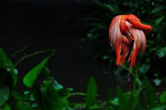 Flamingo bird in nature. Stock Photography