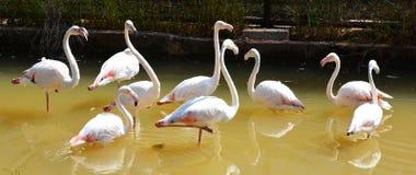 Flamingo bird Stock Photography
