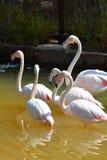 Flamingo bird Stock Image
