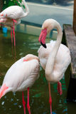 Flamingo bird Royalty Free Stock Photos