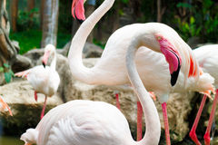 Flamingo bird Stock Images