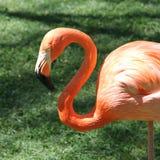 Flamingo bird portrait. Tropical fauna. Exotic beautyfull birds stock photo