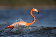 Flamingo Bird on Sea Under Blue Sky during Daytime Royalty Free Stock Images