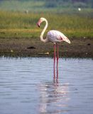 Flamingo - The Bird Standing tall. Lovely to see it waiting alone in Water Stock Photo
