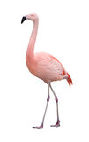 Flamingo Bird Walking Left On White Royalty Free Stock Photos