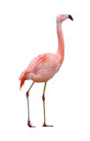 Flamingo bird walking right on white Stock Photography