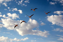 Free Flamingo Bird Watching Royalty Free Stock Photos - 19945478
