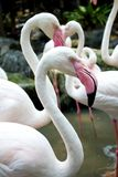 Flamingo bird in the zoo Stock Photography