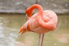 Flamingo bird in zoo Stock Photography
