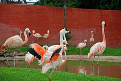 Flamingo Birds Stock Photo