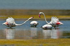 Flamingo birds Royalty Free Stock Photos