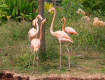 Flamingo birds Stock Photography
