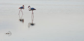 Flamingo birds Royalty Free Stock Photography