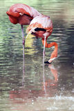 Flamingo birds in captivity Stock Image