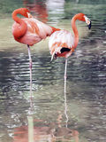Flamingo birds in captivity Stock Images