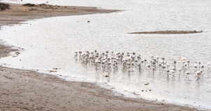 Flamingo Birds feeding Royalty Free Stock Photos