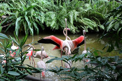 Group of pink flamingos in the tropical Park of Germany Tropical Islands. Birds flamingos in tropical vegetation stock photography