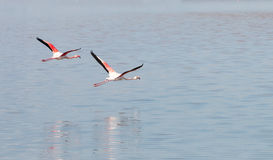 Two Flamingo Birds flying Royalty Free Stock Image