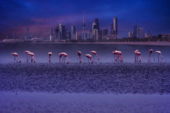 flamingo birds in front of kuwait cityscape Royalty Free Stock Photo