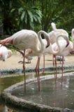 Flamingo birds Royalty Free Stock Images