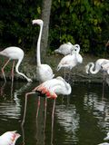 Flamingo birds. In group cleaning their wings and drinking water Stock Images