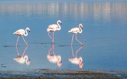 Flamingo Birds in a lake Stock Photos
