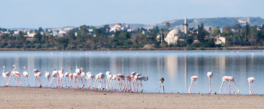 Flamingo Birds at the salt lake, Larnaka, Cyprus stock photography