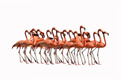 flamingo birds isolated on white background Stock Photography
