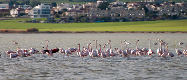 Flamingo birds on a lake Larnaca, Cyprus Royalty Free Stock Photos