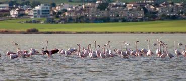 Flamingo birds on a lake Larnaca, Cyprus Royalty Free Stock Photos