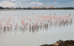 Flamingo Birds Larnaca Cyprus Royalty Free Stock Image