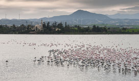 Flamingo Birds at Larnaca salt lake Royalty Free Stock Photography