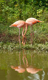 Flamingo birds in love Royalty Free Stock Photo