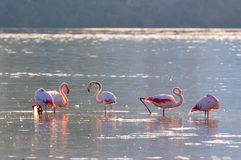 Flamingo birds in natural habitat Stock Image